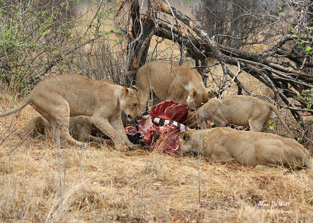 Younger female lions feeding