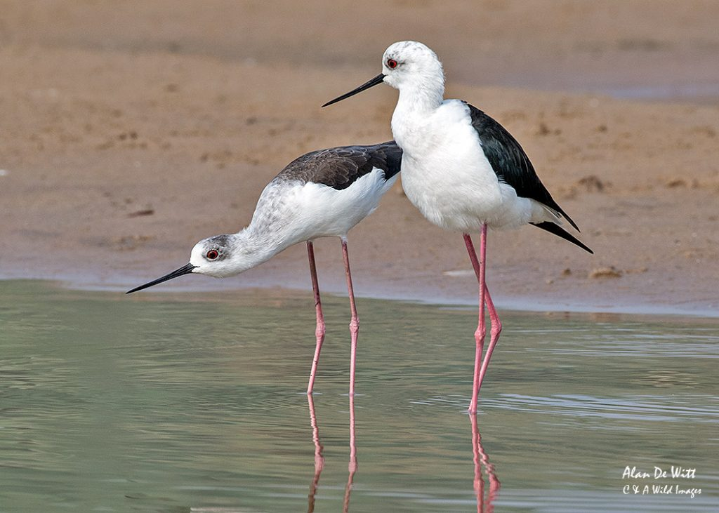 Pair of Black Winged Stilt