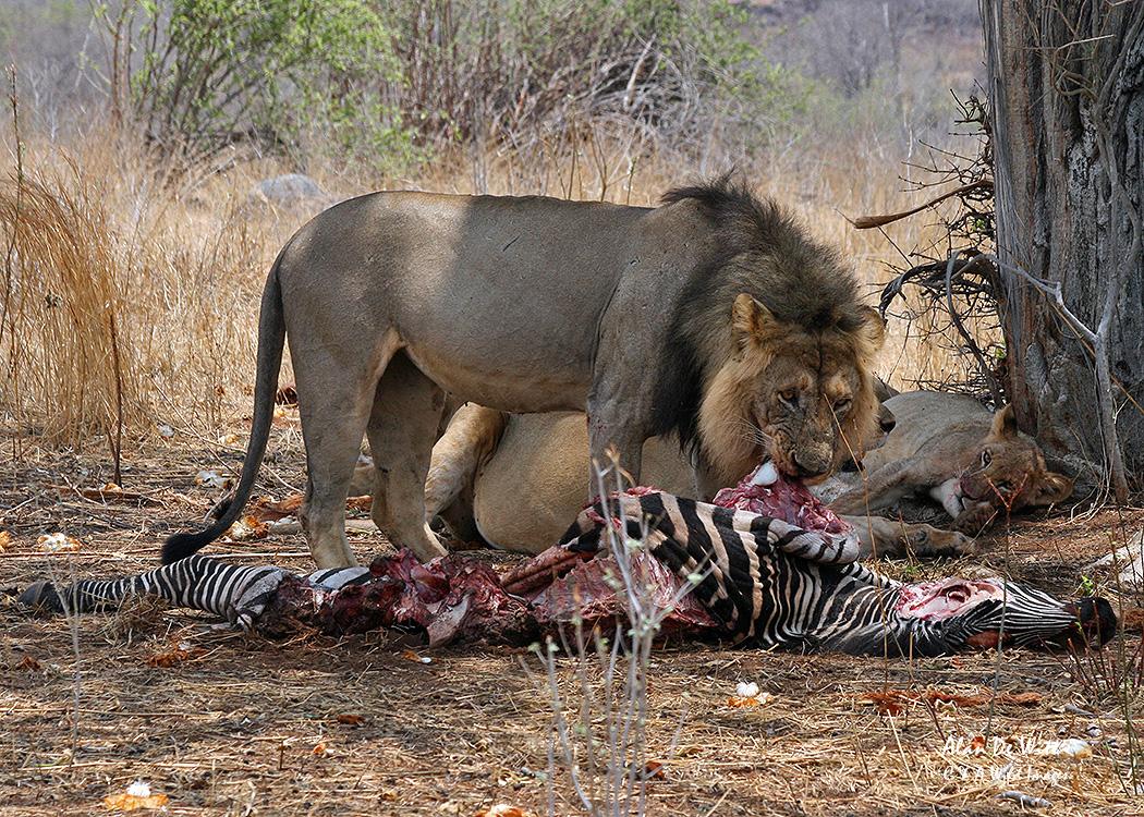 Male Lion on kill in RuahaNational Park Tanzania