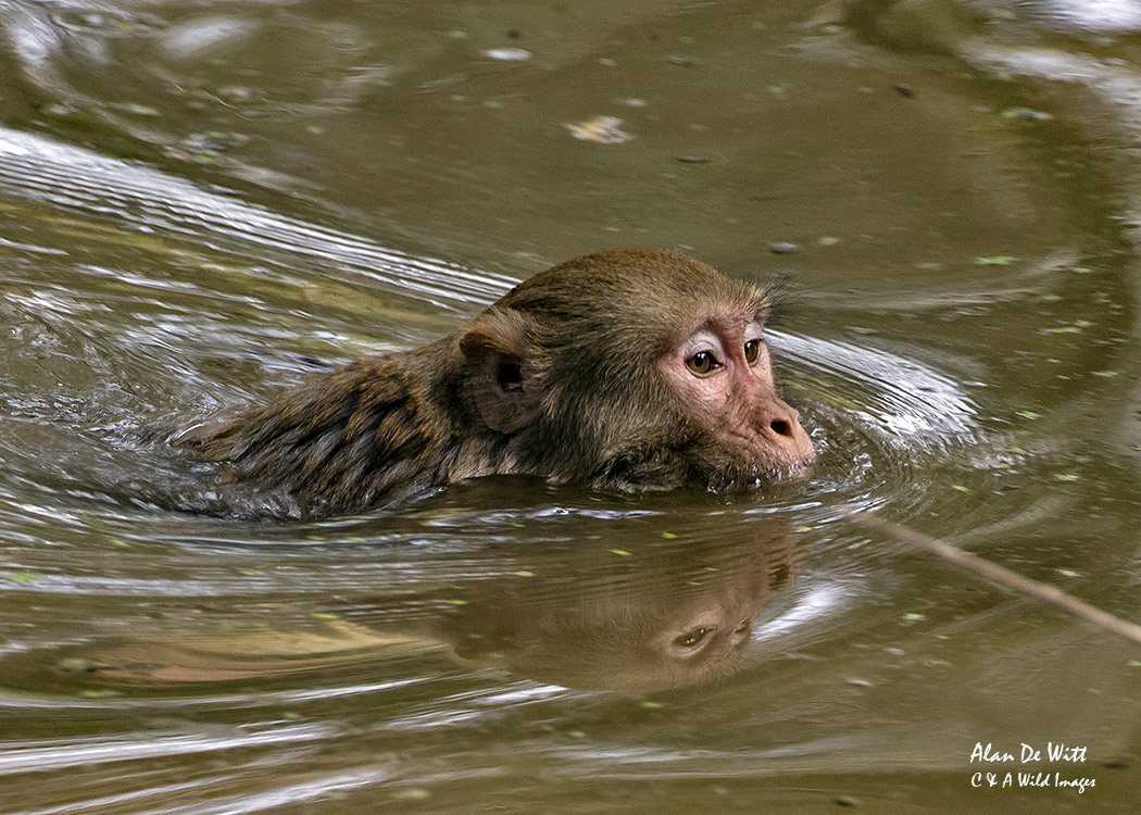 Rhesus Macaque swimming  at Bharatpur