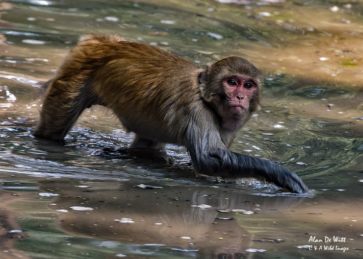 Rhesus Macaque at Bharatpur