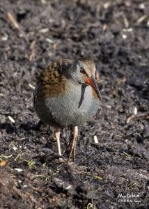 Water Rail at Sculthorpe Moor Nature Reserve