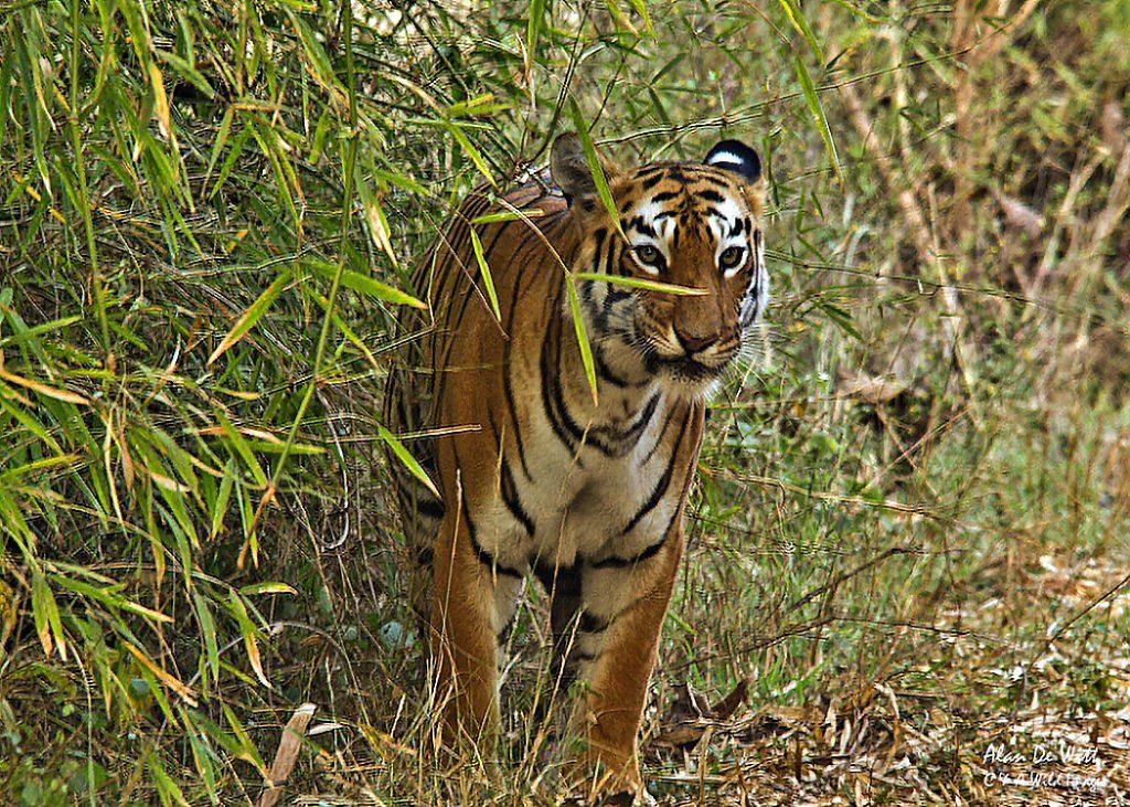 Bengal Tiger named Maya (P2)