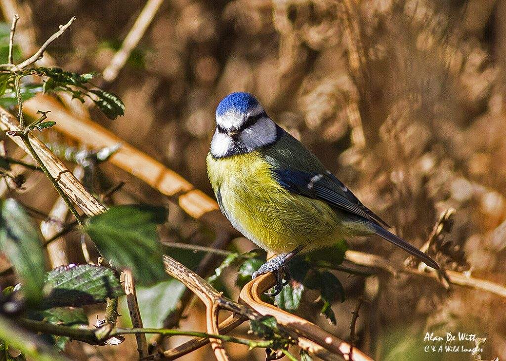 Blue Tit from the Fen Hide