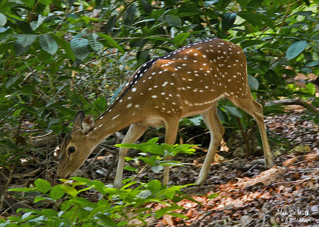 Chital / Spotted-Deer