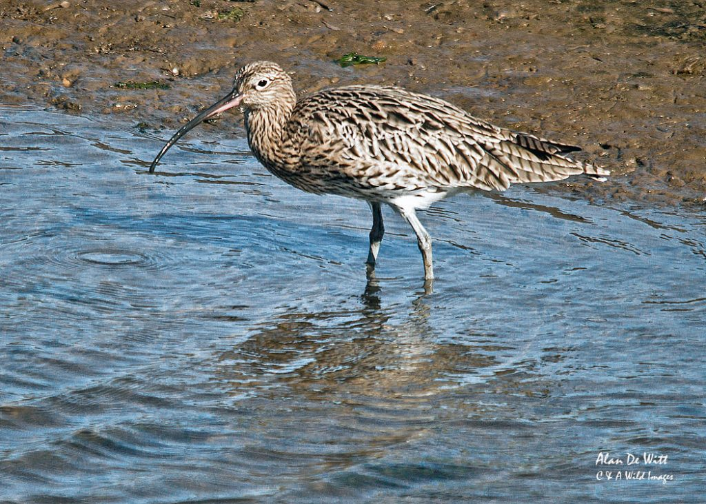 Curlew near the beach path at Titchwell