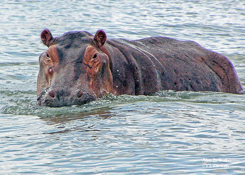 Hippos warning that we had got too close<