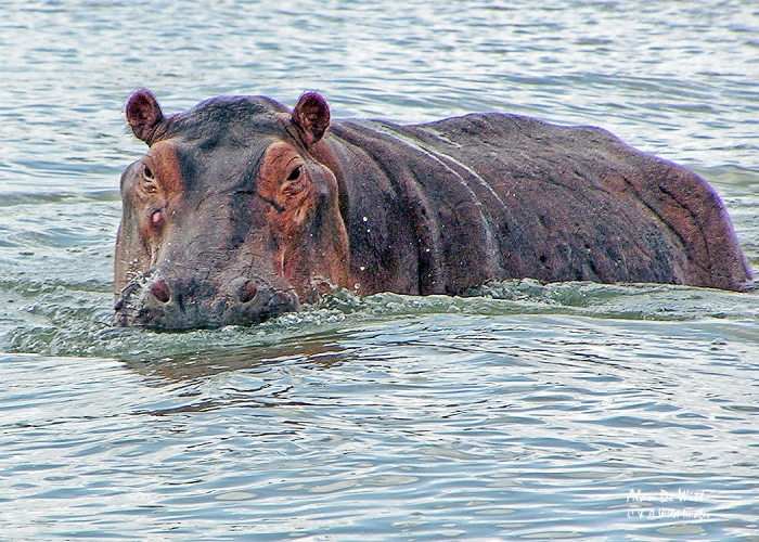 Hippo on the Rufiji River in Selous Game Reserve