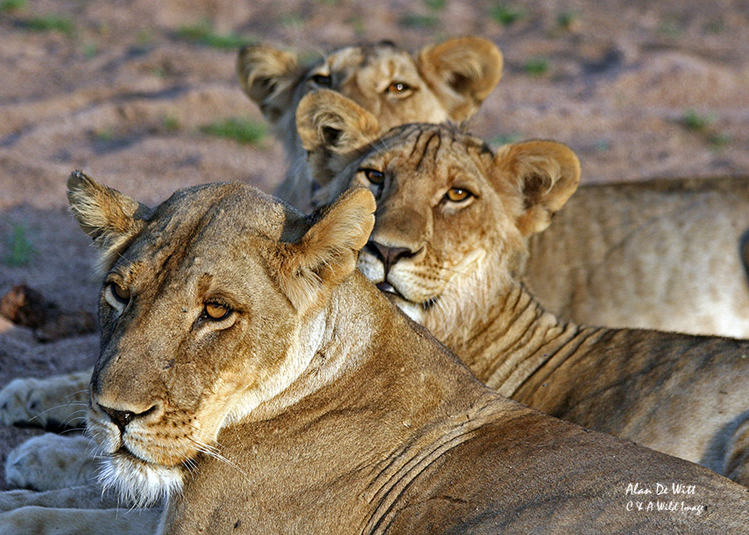 Three Lioness in  Selous Game Reserve