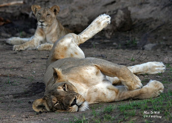 Lioness relaxing in  Selous Game Reserve