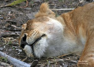 Sleeping Lion in Tanzania's Selous Game reserve