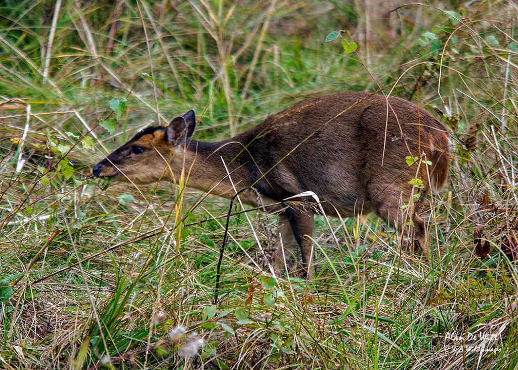 Muntjac deer from the Fen Hide