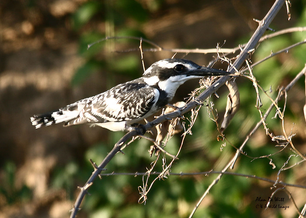 Pied Kingfisher on the Rufiji River in Selous Game Reserve