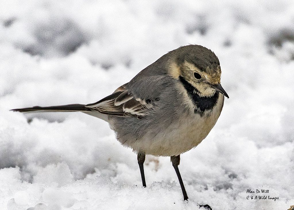 Pied Wagtail in our Norfolk garden