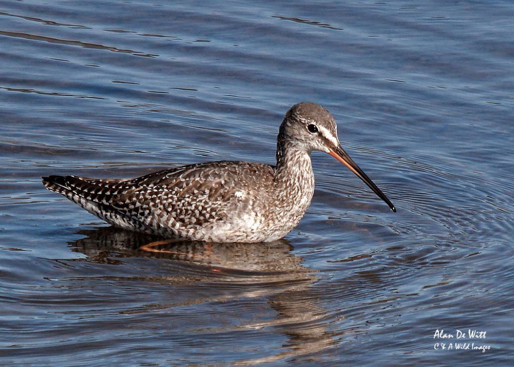 Spotted Redshank wading