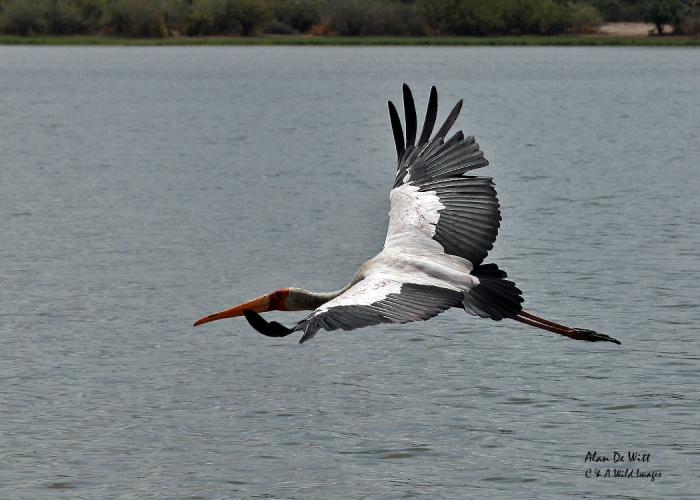 Yellow billed Stork in the Rufiji River in Selous Game Reserve