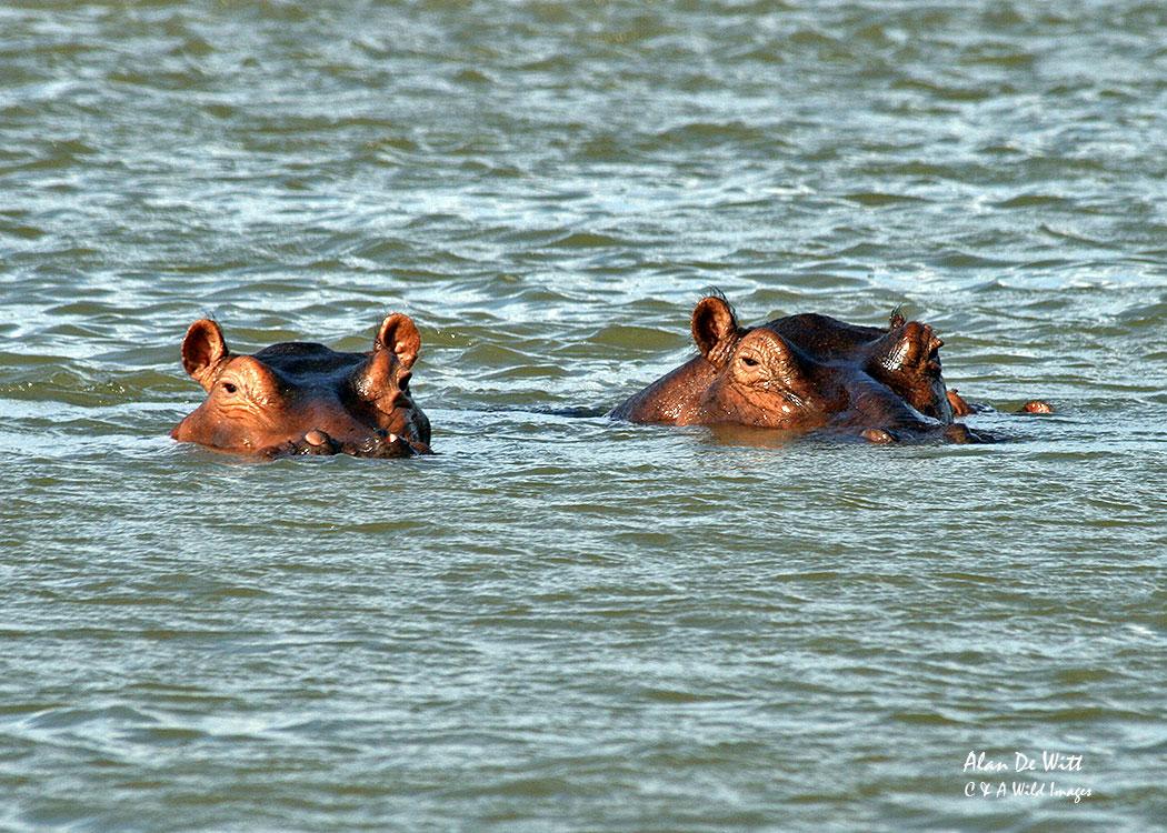 Hippopotamus on the Rufiji River in Selous Game Reserve