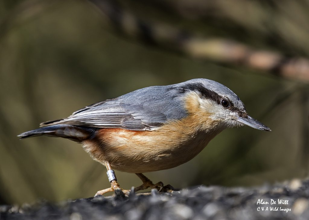 Nuthatch at the Sculthorpe Moor feeding station