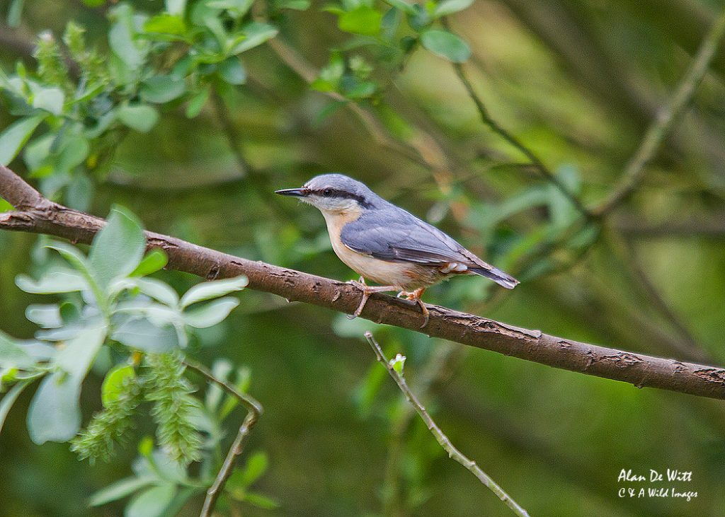 Nuthatch from the Fen Hide