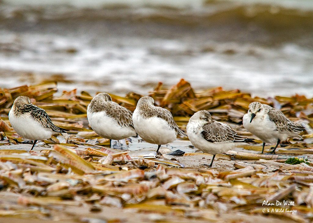 Sanderlings resting on Titchwell Beach