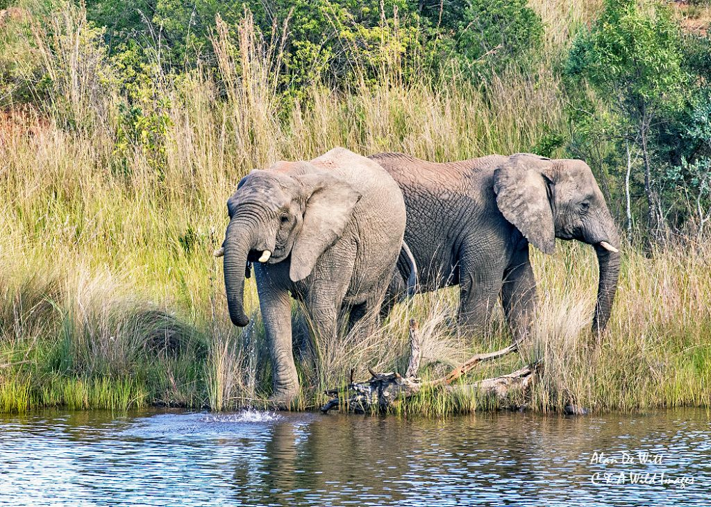 Elephants drinking at Lakeside lodge