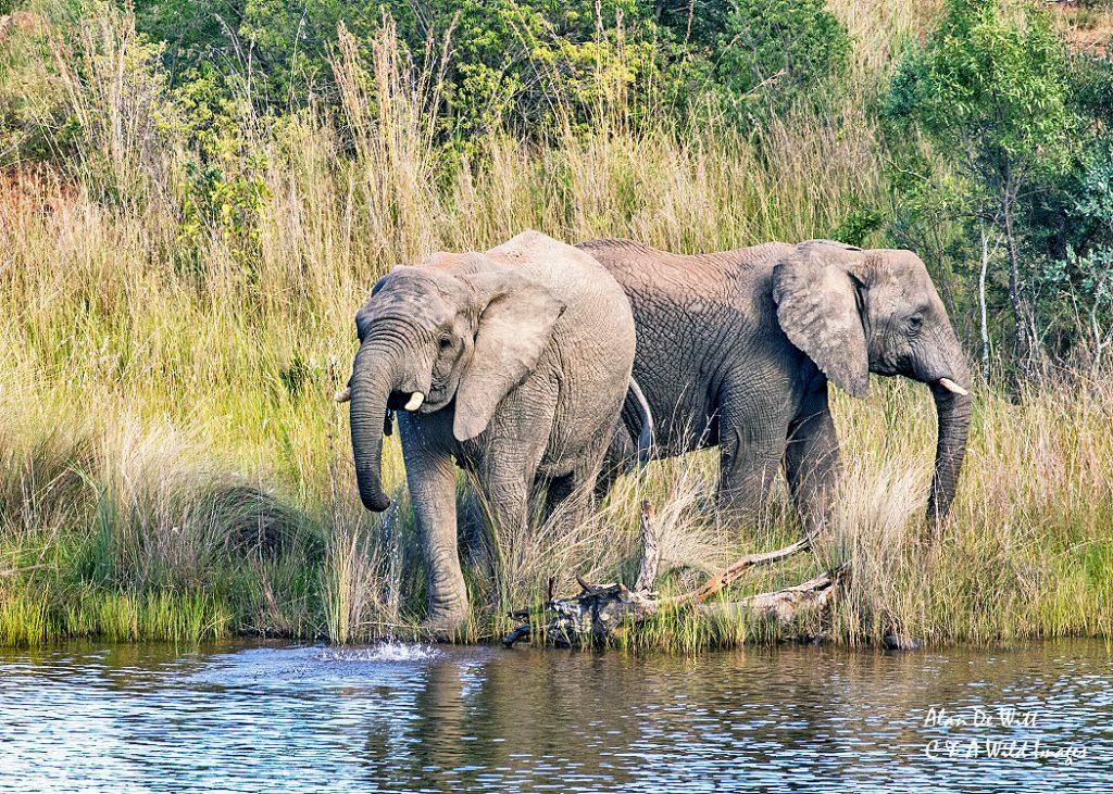 Elephants drinking at Lakeside lodge