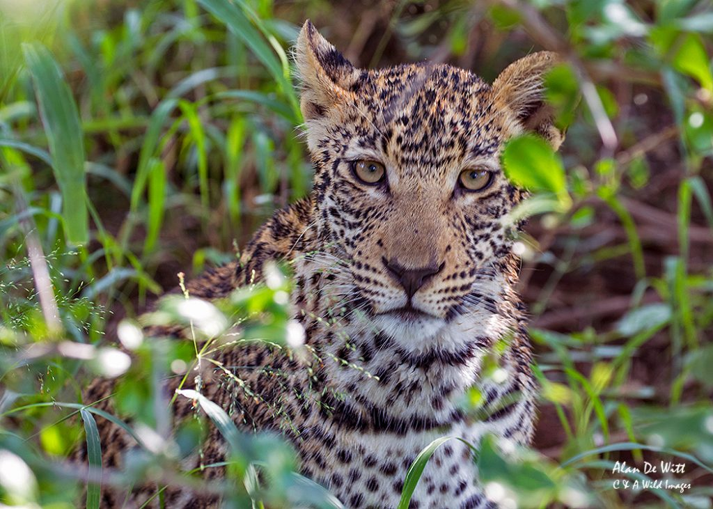 Young Leopard in Karongwe.