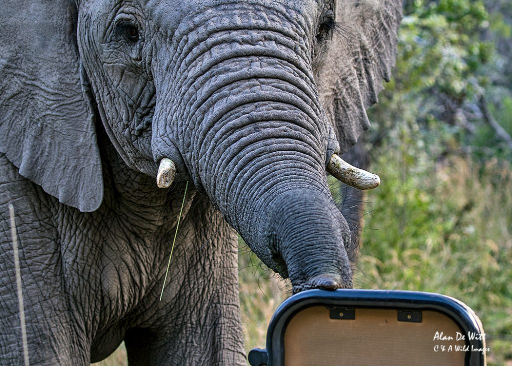 Elephant checking out the vehicle
