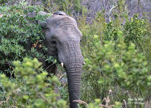 Elephant hiding in the bush