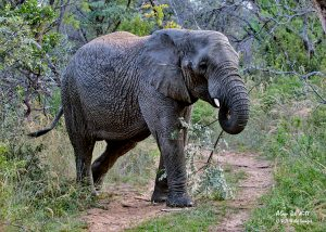 One of the nine Elephants