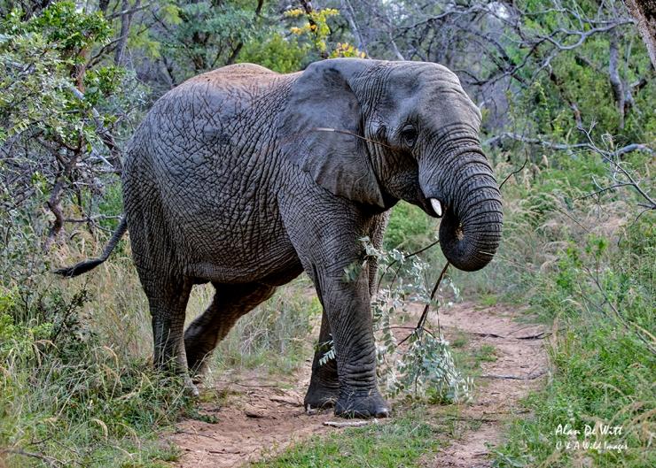 Elephant in Entabeni