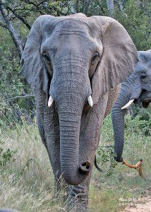 One upset Elephant