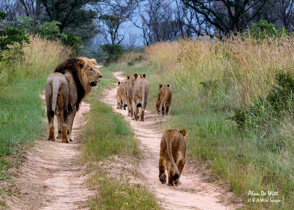 Pride heading towards the water hole