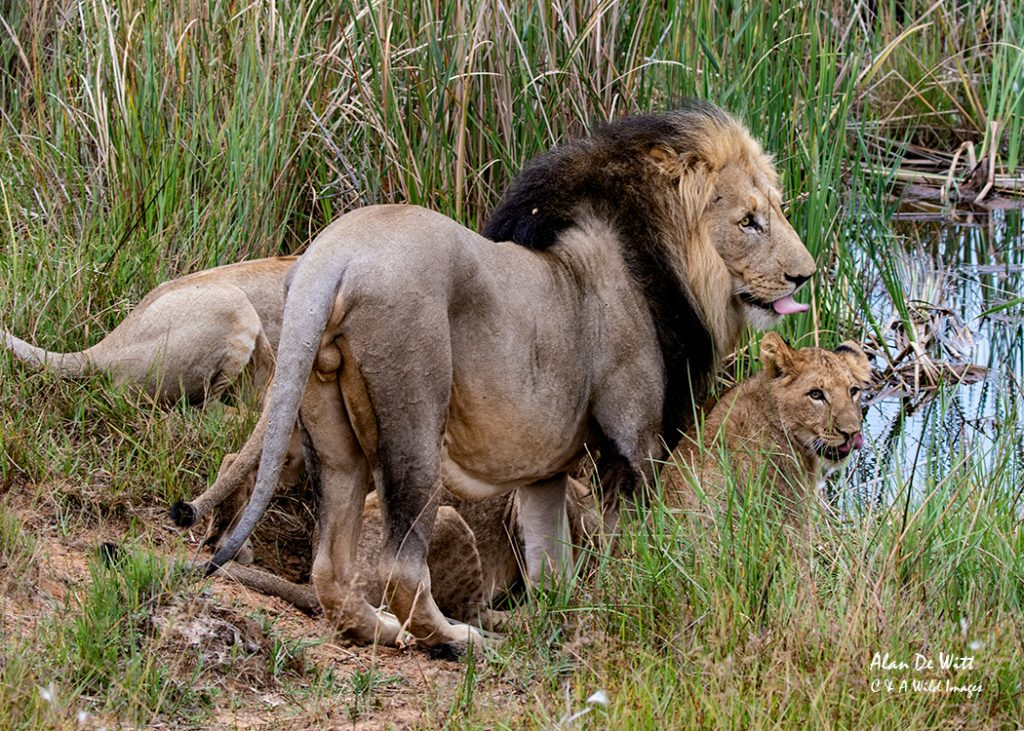 Pride at the water hole