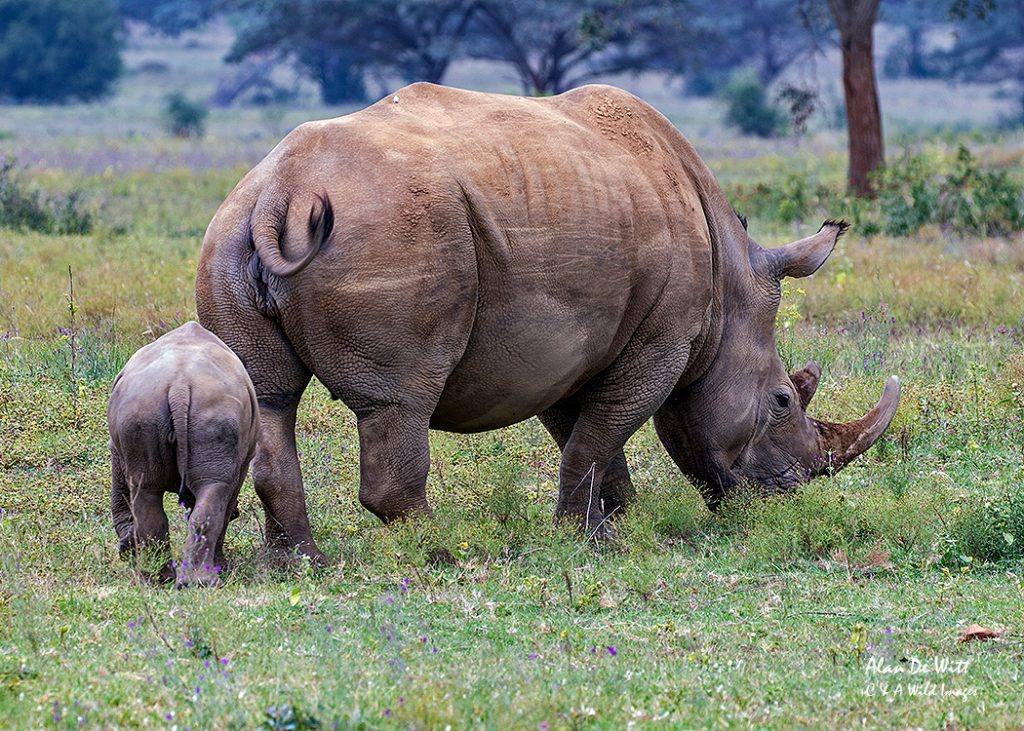 Mother southern white rhinoceros and her calf