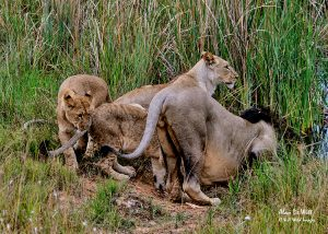 Lion cubs at the water