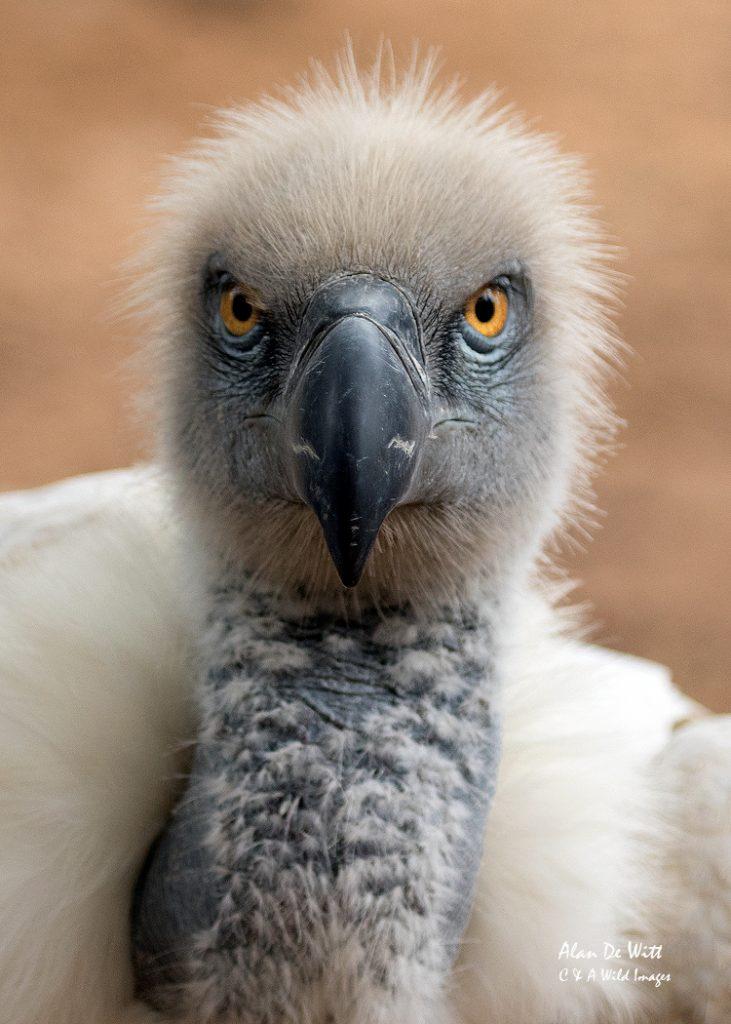 The Cape Griffon Vulture