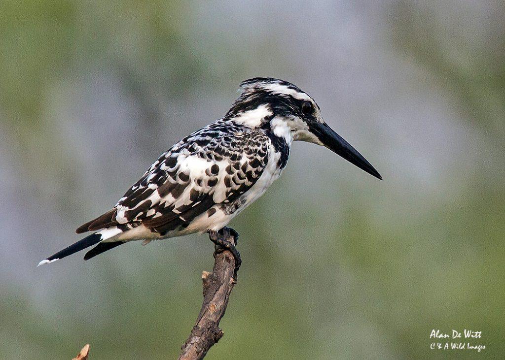 Pied Kingfisher at Entabeni
