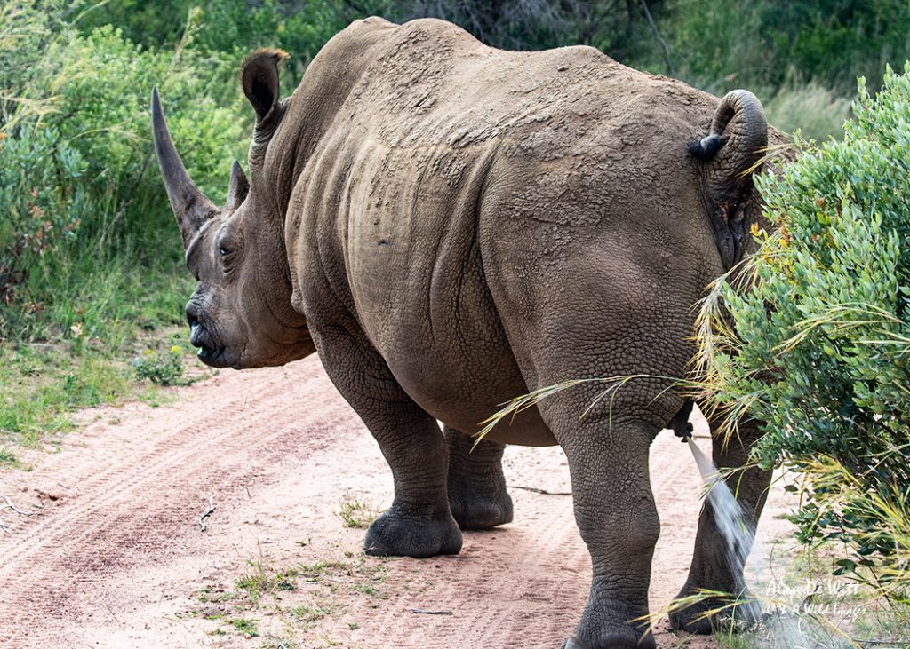 Male southern white rhinoceros marking territory with urine