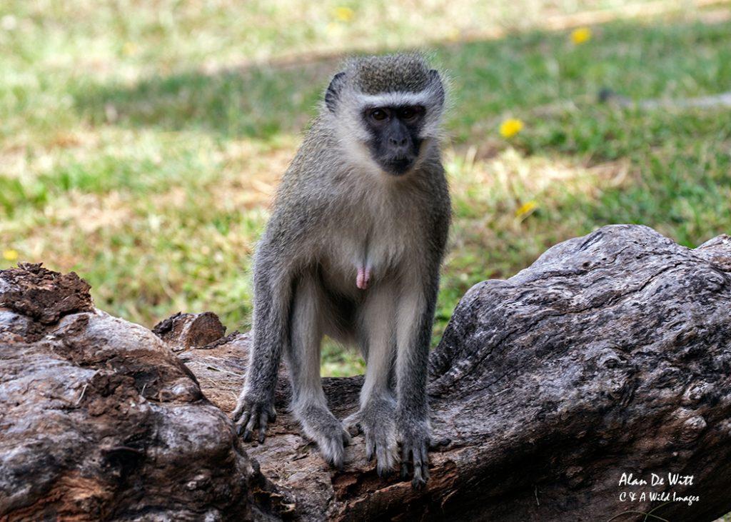 Vervet monkeys around the lodge