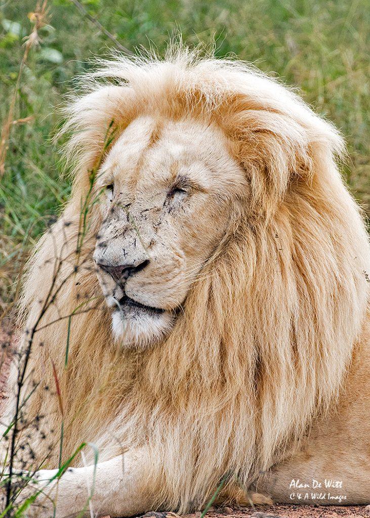 Endangered Male White Lion