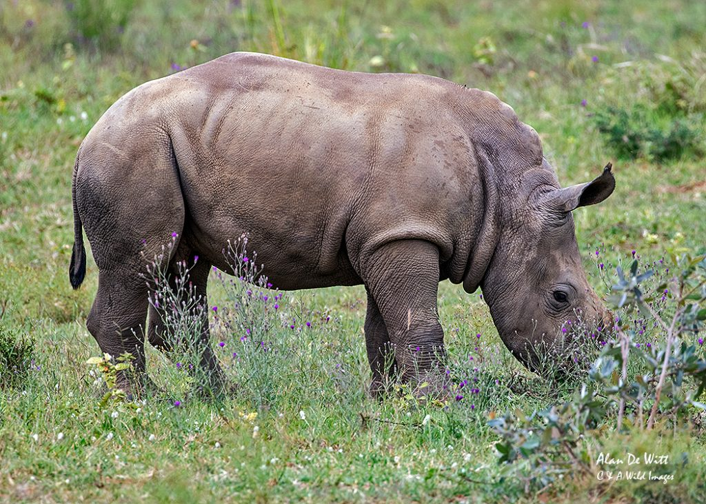 One month old Rhinoceros calf