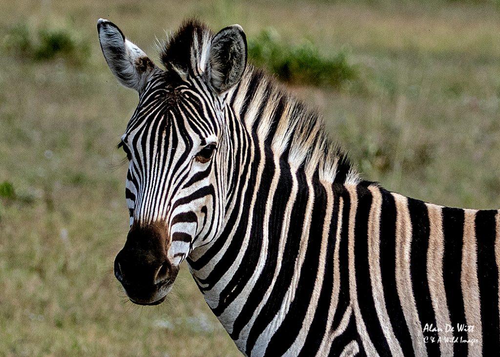 the big five and Entabeni's Zebra