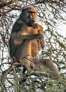 Male Baboon on sentry duty
