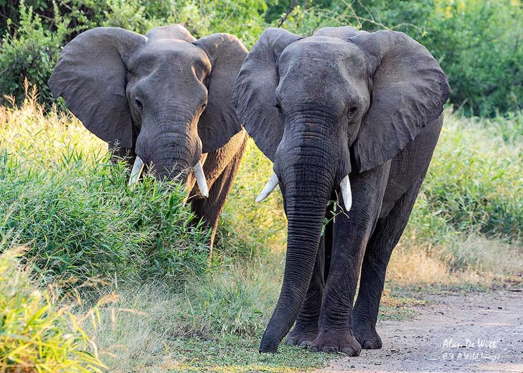 Elephant stand off