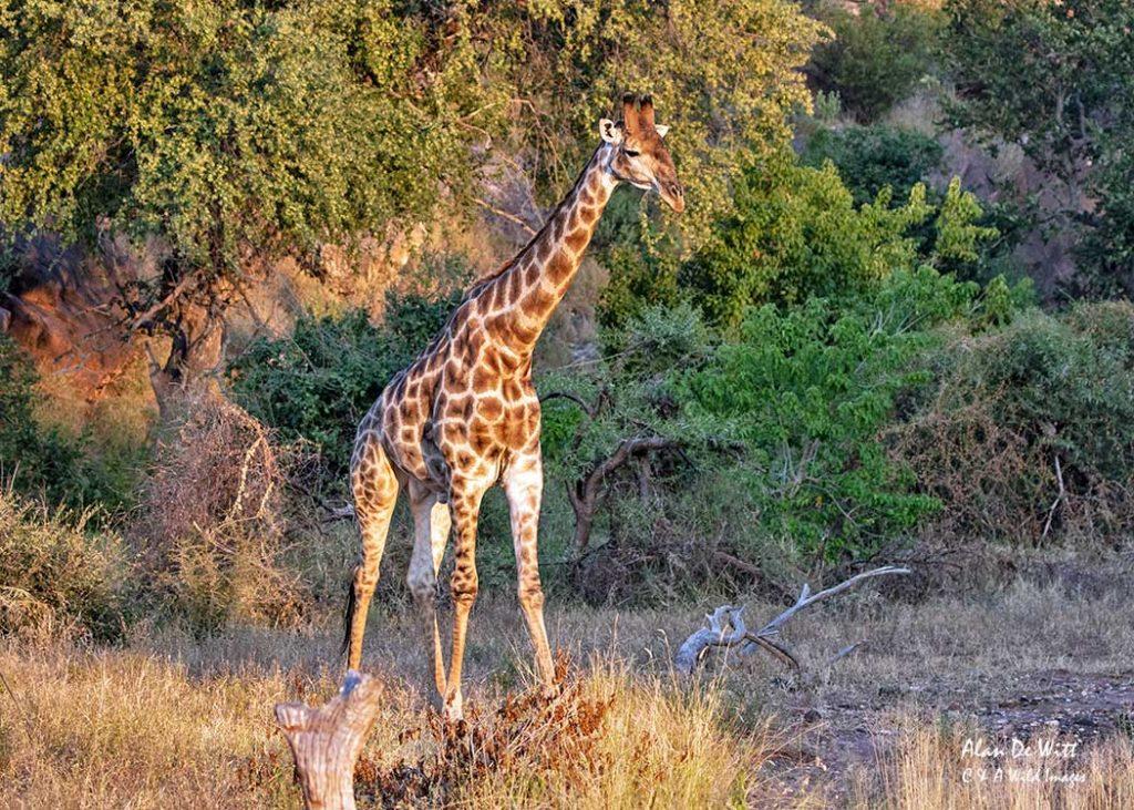 Giraffe caught in evening light