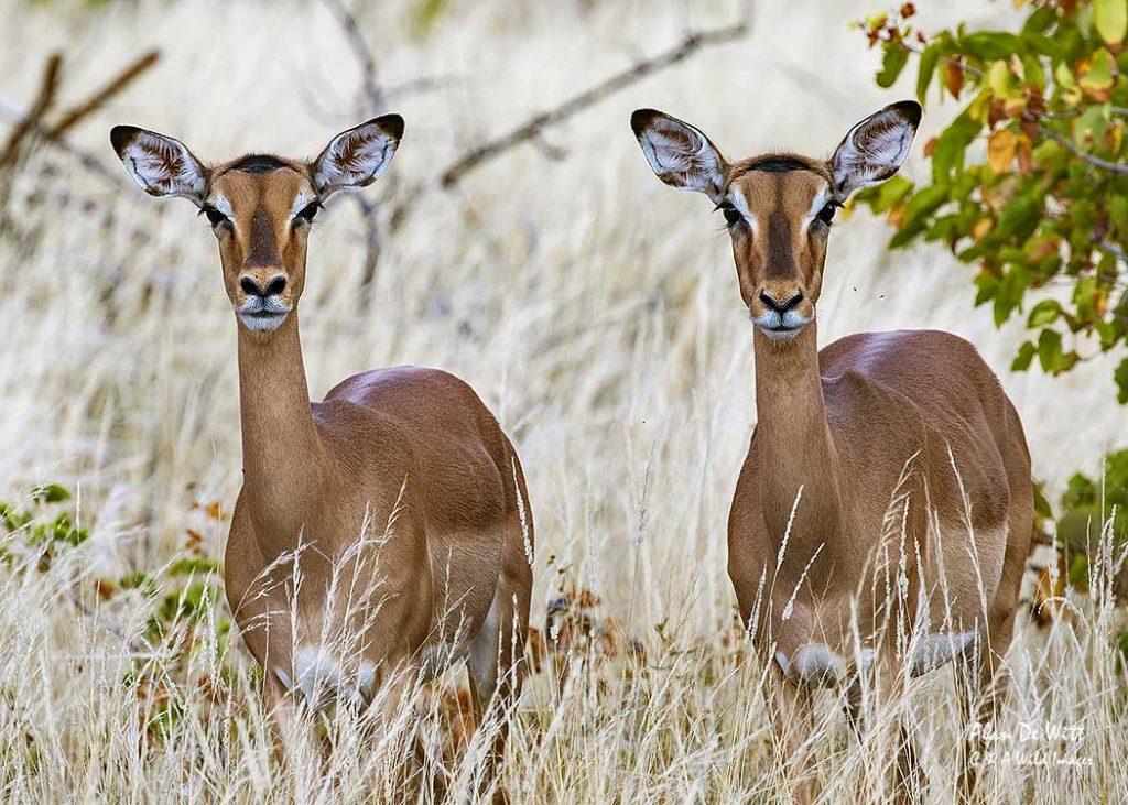 Pair of Impala