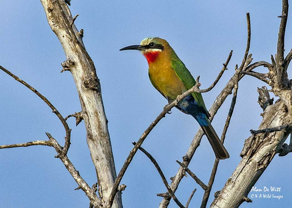 White-Breasted Bee Eater