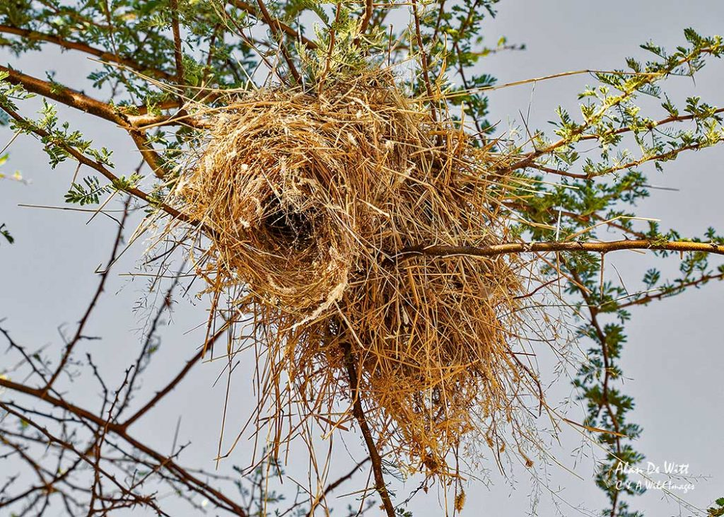 White browed sparrow weaver nest