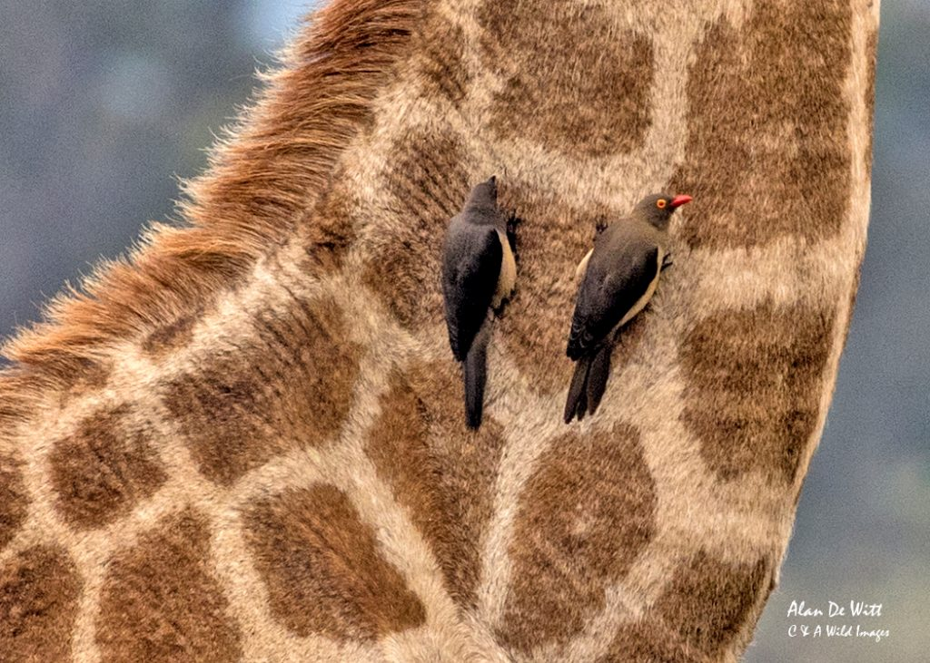Yellow-billed-oxpeckers feeding on Giraffe's neck